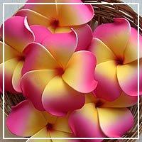 【フローティングフラワー】フランギパニ(プルメリア) カール ピンク(6個)