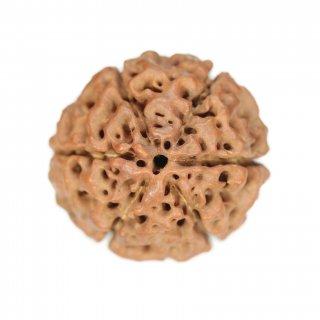 6面ハイブリッド・ルドラークシャ・ビーズ(ネパール原種・ジャワ産、27.7mm x 26.0mm x 28.7mm)