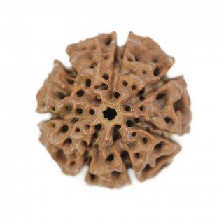7面ハイブリッド・ルドラークシャ・ビーズ(ネパール原種・ジャワ産、25.8mm x 25.0mm x 26.5mm)
