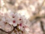《アートフォト》権現堂 桜堤のさくら(レンタル対象)