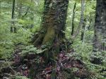 《アートフォト》世界遺産 白神山地のブナの木(レンタル対象)