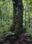 《アートフォト》世界遺産 白神山地のブナの木(縦撮り)(レンタル対象)