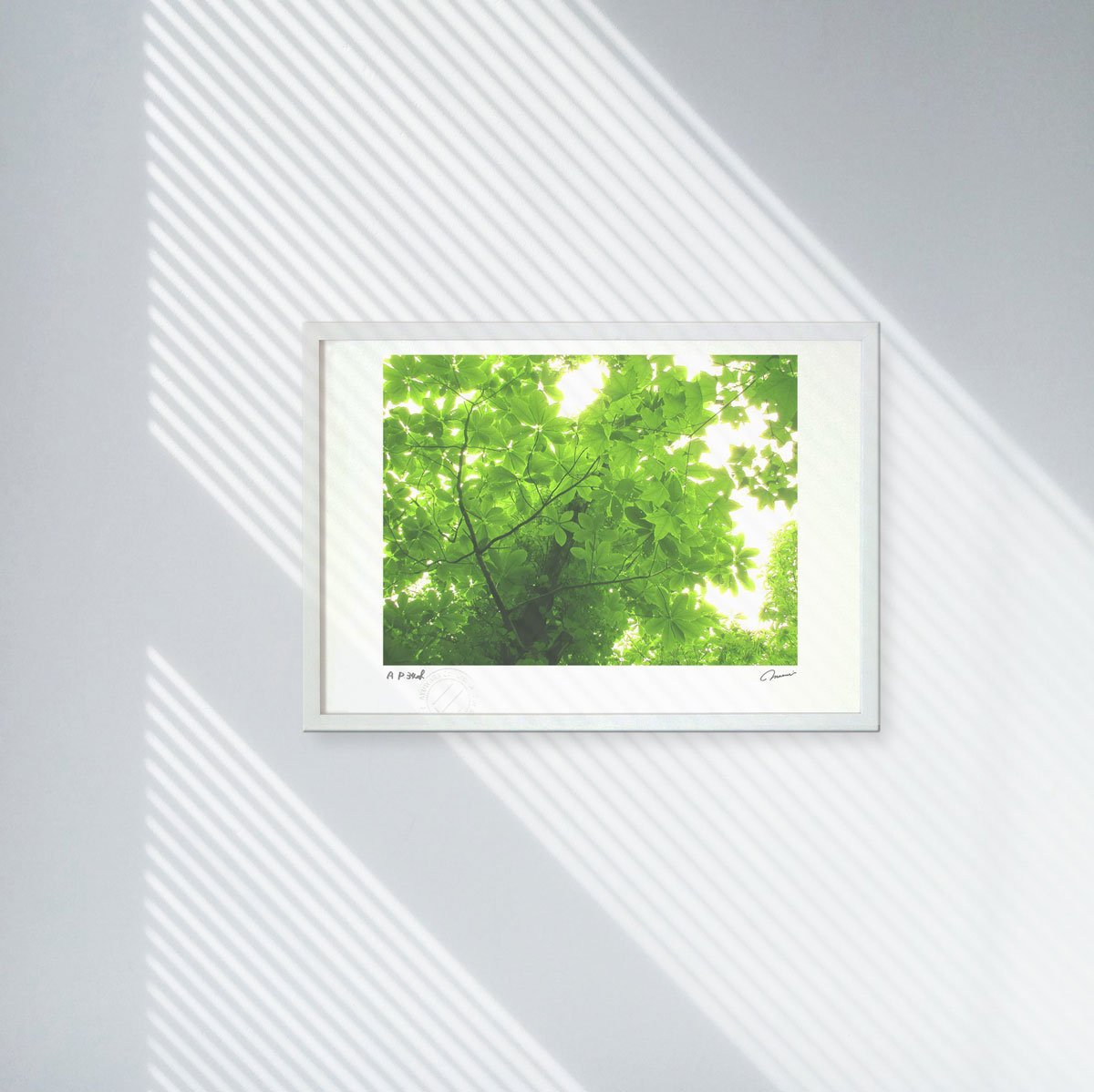《アートフォト》世界遺産 白神山地 ブナの木の木漏れ日(レンタル対象)