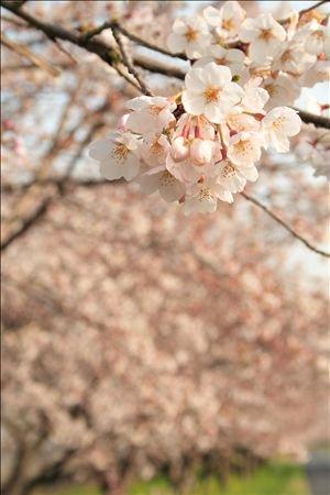 《アートフォト》見沼の桜並木とさくら(レンタル対象)