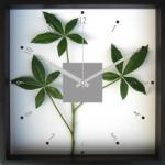 《掛時計》Pachia glabra(パキラ)