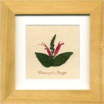 《ハーブ アートフレーム》Pineapplesage(パイナップルセージ)(ゆうパケット)