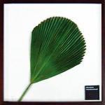 《リーフパネル》Vanuatu fan palm(バヌアツ ファン バーム)