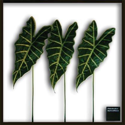 《リーフパネル》Alocasia Amazonica(アロカシア アマゾニカ)