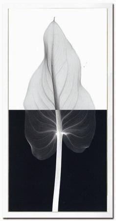 《X-Ray(X線) アートフレーム》Calla Leaf II(カラーリーフ) Steven N.Meyers