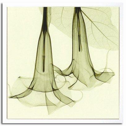 《X-Ray(X線) アートフレーム》Datura(ダチュラ/チョウセンアサガオ) Steven N.Meyers