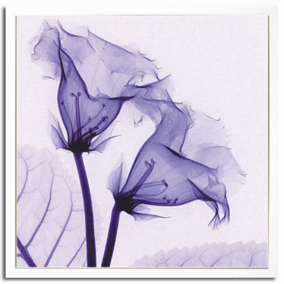 《X-Ray(X線) アートフレーム》Gloxinia(グロキシニア) Steven N.Meyers
