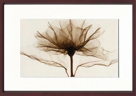 《X-Ray(X線) アートフレーム》A Rose(バラ) Steven N.Meyers