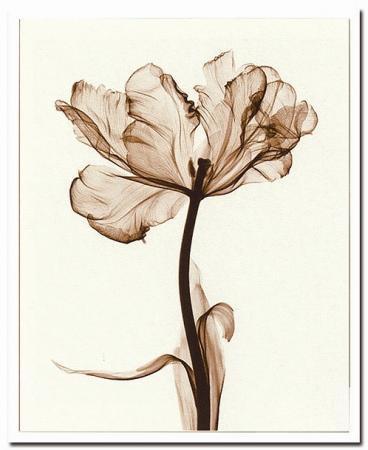 《X-Ray(X線) アートフレーム》Parrot Tulips I(パーロット咲きチューリップ) Steven N.Meyers