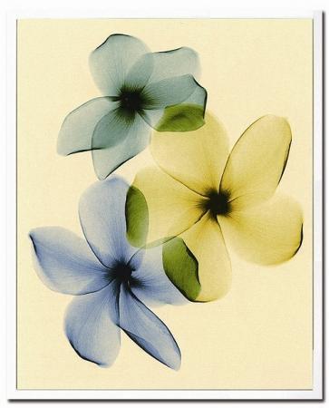 《X-Ray(X線) アートフレーム》Plumeria(プルメリア) Steven N.Meyers