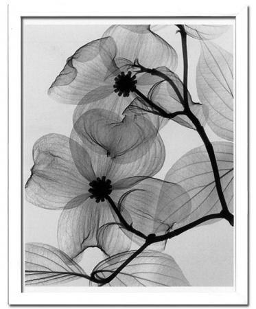 《X-Ray(X線) アートフレーム》Dogwood Blossoms(ハナミズキの花) Steven N.Meyers