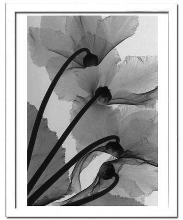 《X-Ray(X線) アートフレーム》Cyclamen Study 4(シクラメン調査4) Steven N.Meyers