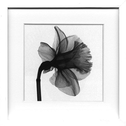 《X-Ray(X線) アートフレーム》Daffodil(水仙) Steven N.Meyers