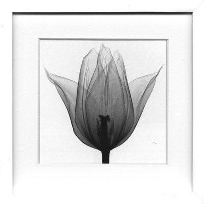 《X-Ray(X線) アートフレーム》Triumph Tulip(トライアンフチューリップ) Steven N.Meyers