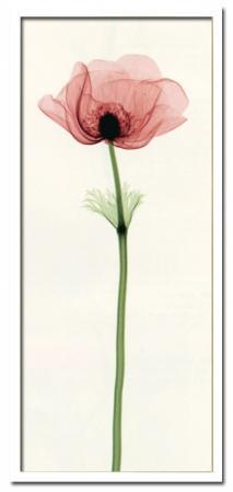 《X-Ray(X線) アートフレーム》Anemone IV(アネモネ) Steven N.Meyers