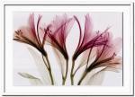 《X-Ray(X線) アートフレーム》Alstroemeria(アルストロメリア) Steven N.Meyers