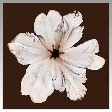 《X-Ray(X線) アートフレーム》Ruffled Tulip(波立ったチューリップ) Steven N.Meyers