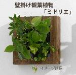 壁掛け観葉植物「ミドリエ」(壁面緑化)木目調 〜サントリー・トヨタの新提案〜 絵を飾るようにみどりを飾る