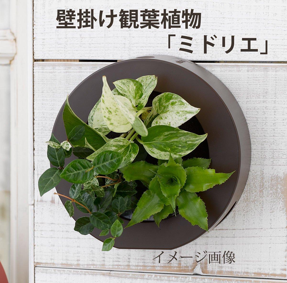 壁掛け観葉植物「ミドリエ」(壁面緑化)ラウンド型グリーンフレーム 〜サントリー・トヨタの新提案〜 絵を飾るようにみどりを飾る