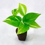 壁掛け観葉植物ミドリエ用交換苗「ポトス」 〜サントリー・トヨタの新提案〜 絵を飾るようにみどりを飾る