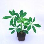 壁掛け観葉植物ミドリエ用交換苗「シェフレラ・緑」 〜サントリー・トヨタの新提案〜 絵を飾るようにみどりを飾る