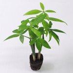 壁掛け観葉植物ミドリエ用交換苗「パキラ」 〜サントリー・トヨタの新提案〜 絵を飾るようにみどりを飾る