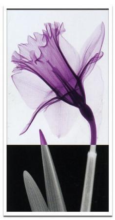 《X-Ray(X線)アートフレーム》Stem IV(ステム(茎)4) Steven N.Meyers