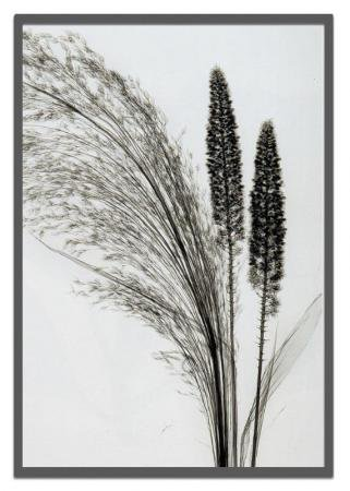 《X-Ray(X線)アートフレーム》Broom Grass(エニシダ草) Steven N.Meyers