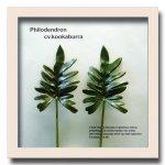 《リーフパネル》Forest Deco Philodendron cv.kookabura(フィロデンドロン クッカバラ)ホワイトフレーム