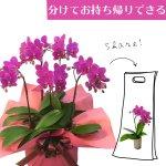 シェアオーキッド シェアできる胡蝶蘭 ピンク色胡蝶蘭 5本立ち(5株)