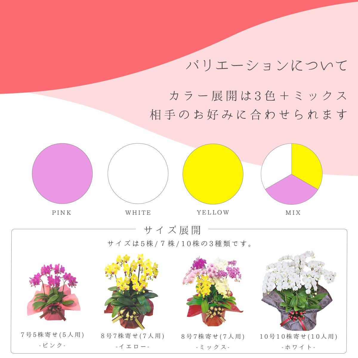 シェアオーキッド シェアできる胡蝶蘭 イエロー 黄色 5本立ち(5株)