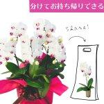 シェアオーキッド シェアできる胡蝶蘭 ホワイト 白 5本立ち(5株)