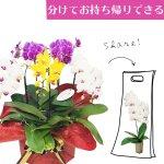 シェアオーキッド シェアできる胡蝶蘭 ミックス  5本立ち(5株)