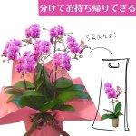 シェアオーキッド シェアできる胡蝶蘭 ピンク  7本立ち(7株)