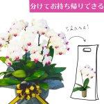 シェアオーキッド シェアできる胡蝶蘭 ホワイト 白  7本立ち(7株)