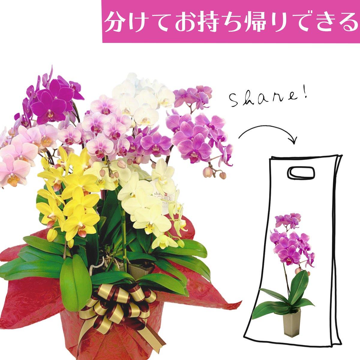 シェアオーキッド シェアできる胡蝶蘭 ミックス  7本立ち(7株)