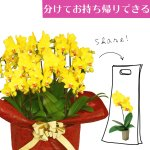 シェアオーキッド シェアできる胡蝶蘭 イエロー 黄色 10本立ち(10株)