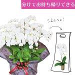 シェアオーキッド シェアできる胡蝶蘭 ホワイト 白 10本立ち(10株)