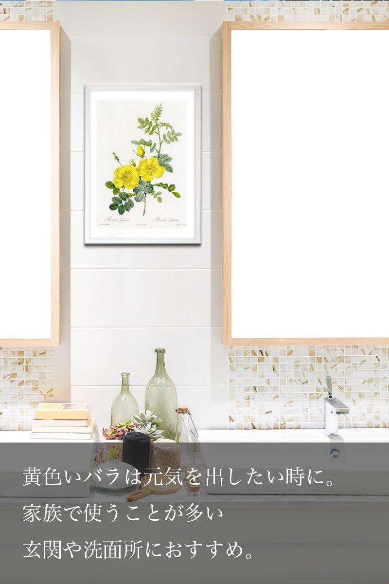 版画 絵画ロサ・ガリカ・ゲリニアーナ ボタニカル