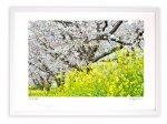 版画 絵画 桜と菜の花2021(横)/アートフォト 壁掛け 額入り