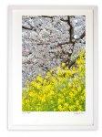 版画 絵画 桜と菜の花2021(縦)/アートフォト 壁掛け 額入り