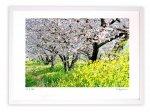 版画 絵画 桜並木と菜の花/アートフォト 壁掛け 額入り