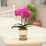 《胡蝶蘭》ピンク色胡蝶蘭 2本立ち ゴールドクラック鉢(こちょうらん)