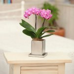《胡蝶蘭》ピンク色胡蝶蘭 2本立ち チュンリーシルバー鉢 (こちょうらん)