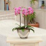 《胡蝶蘭》ピンク色胡蝶蘭 3本立ち シルバー舟形鉢 (こちょうらん)
