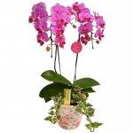 《胡蝶蘭》ピンク色胡蝶蘭 2本立ち 観葉寄せ 花柄鉢(こちょうらん)